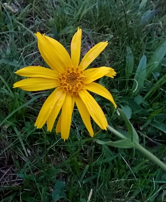 Arnica montana, at 1950m in Vallibierna..one of the few times i have seen it in Pyrenees.